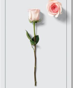 jasna róża na plakacie
