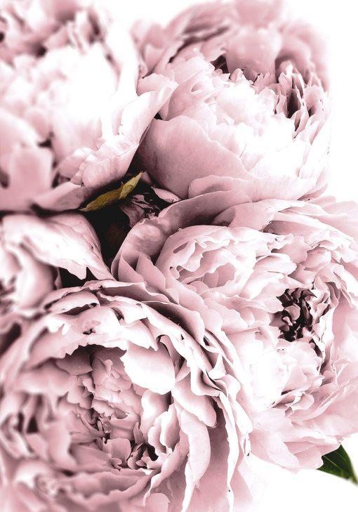 jasno-różowe peonie na plakacie w ramie