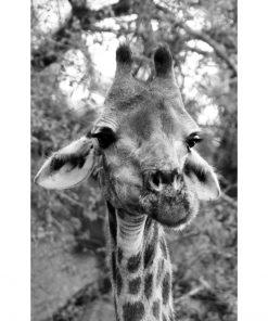 Plakat do szkoły z żyrafą