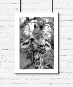 Plakat z żyrafą bez ramy