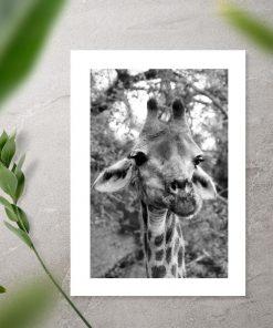 Plakat z żyrafą na sawannie w szarym kolorze