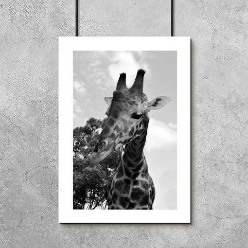Plakat szary z żyrafą
