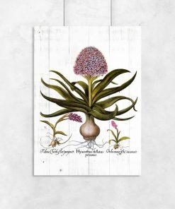 Hiacynt na deskach - Plakat botaniczny do przedpokoju