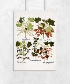 Botaniczny plakat z czarną porzeczką do biura