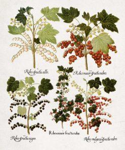 Botaniczny plakat z czarną porzeczką do kawiarni
