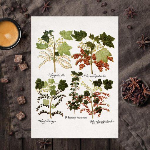 Botaniczny plakat z czarną porzeczką do kuchni