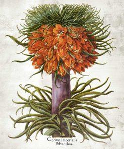 Cesarska korona - Plakat botaniczny do jadalni