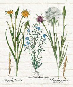 Plakat botaniczny - Salsefia purpurowa do kuchni