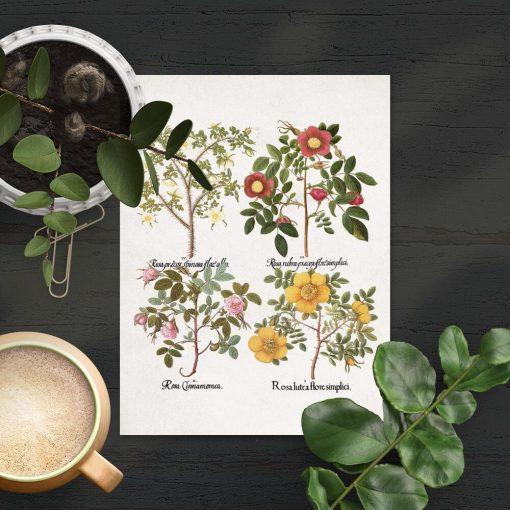 Plakat cztery gatunki róż drobnolistnych