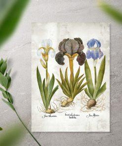 Plakat edukacyjny z kwiatami - irysy