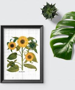 Plakat edukacyjny ze słonecznikami i nazwą łacińską