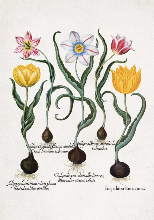 Plakat pięć rodzajów tulipanów ozdobnych