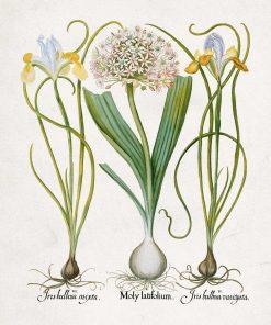 Plakat z czosnkiem i irysami - kwiaty