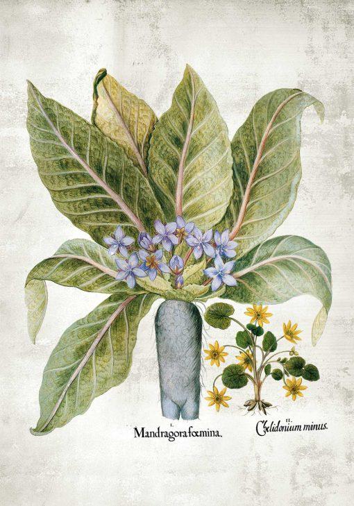 Plakat z korzeniem mandragory - pomoc dydaktyczna