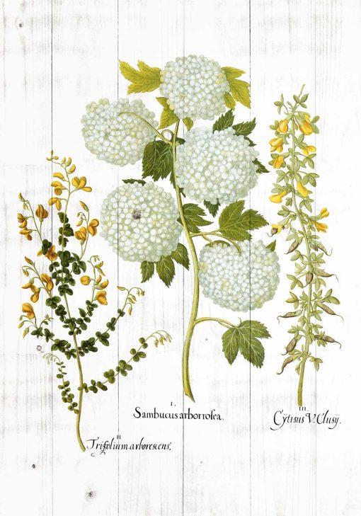 Plakat z kwiatami czarnego bzu i wyki