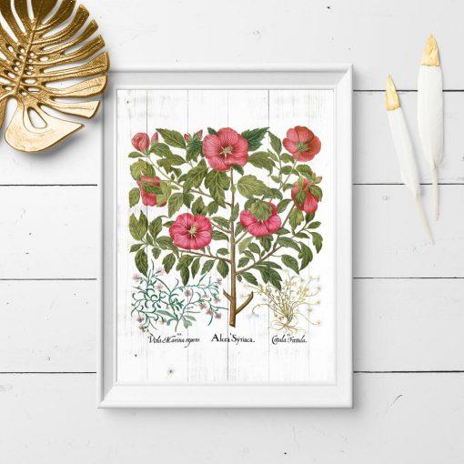 Plakat z malwą i innymi roślinami leczniczymi