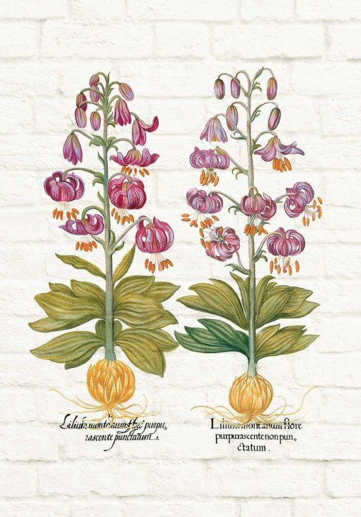 Plakat z motywem fioletowej lilii - odmiany