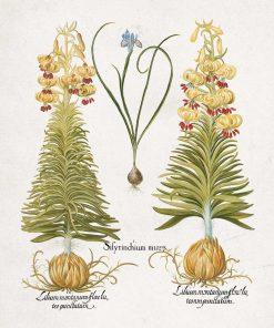 Plakat z motywem kwiatowym i łacińską nazwą
