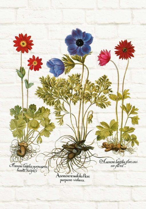 Plakat z odmianami anemonów lub zawilców