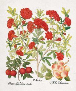 Plakat z owocami jadalnymi śliwy i moreli