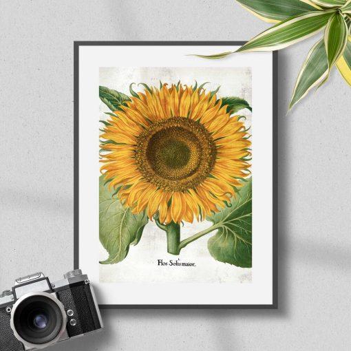 Plakat z żółtym słonecznikiem i łacińską nazwą