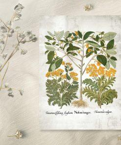 Plakat z żółtymi kwiatkami i łacińskimi nazwami