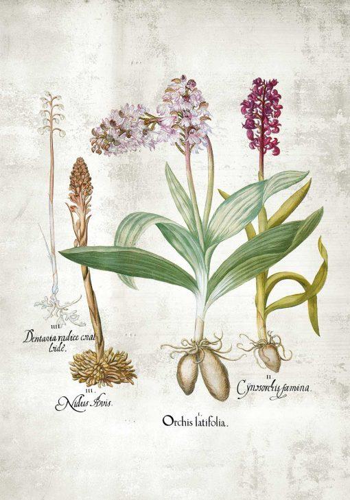 Plakat ze storczykami z łąki