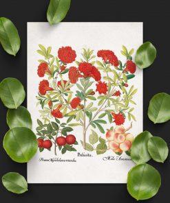Plakaty edukacyjne z owocami śliwy i moreli