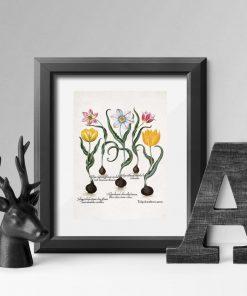Plakaty łacińskie nazwy tulipanów ozdobnych