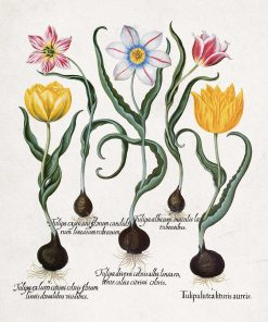 Tulipany - Plakat dla botanika do jadalni