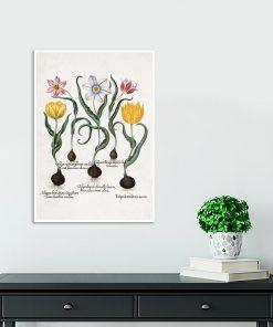 Tulipany - Plakat dla botanika na przedpokój