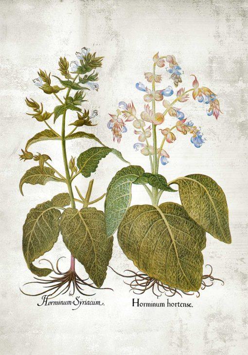 Botaniczny plakat z szałwią powabną do jadalni