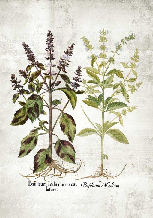 Plakat z bazylią i jej kwiatami - gatunki