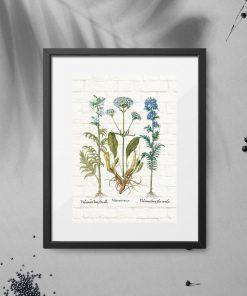 Plakat z ziołami kozłka lekarskiego