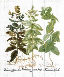 Plakat zielarski - melisa